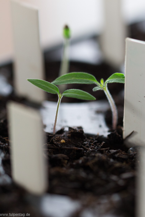 Gemüse selber anzüchten. Gemüseanzucht. Gemüse vorziehen. #garten #selbstversorger #saatgut